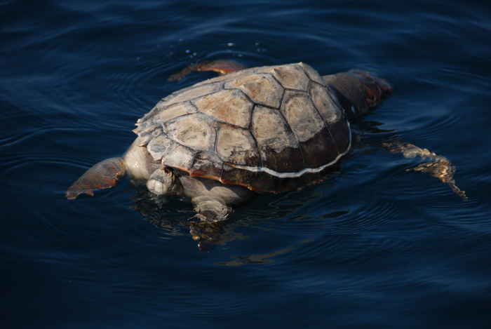 Diving-Turtle