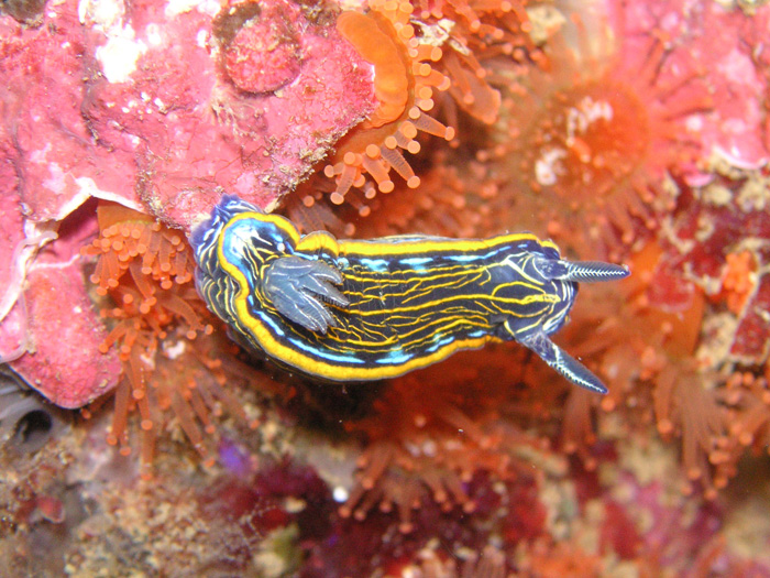 Diving-Nudibranquios
