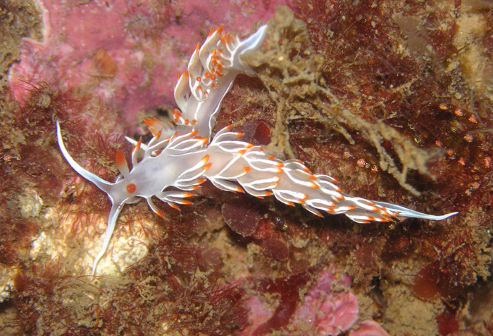 Diving-Nudibranquios2